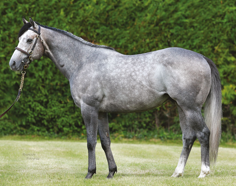 Havana Grey, another of Whitsbury's speed-orientated roster, covered his first book of mares last year.